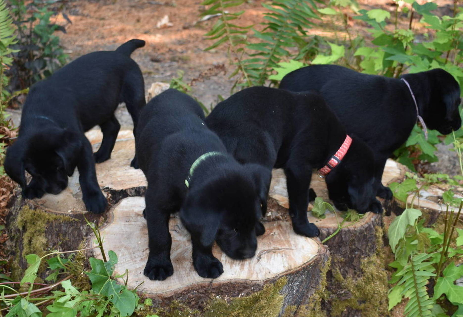 american black lab puppies olympia