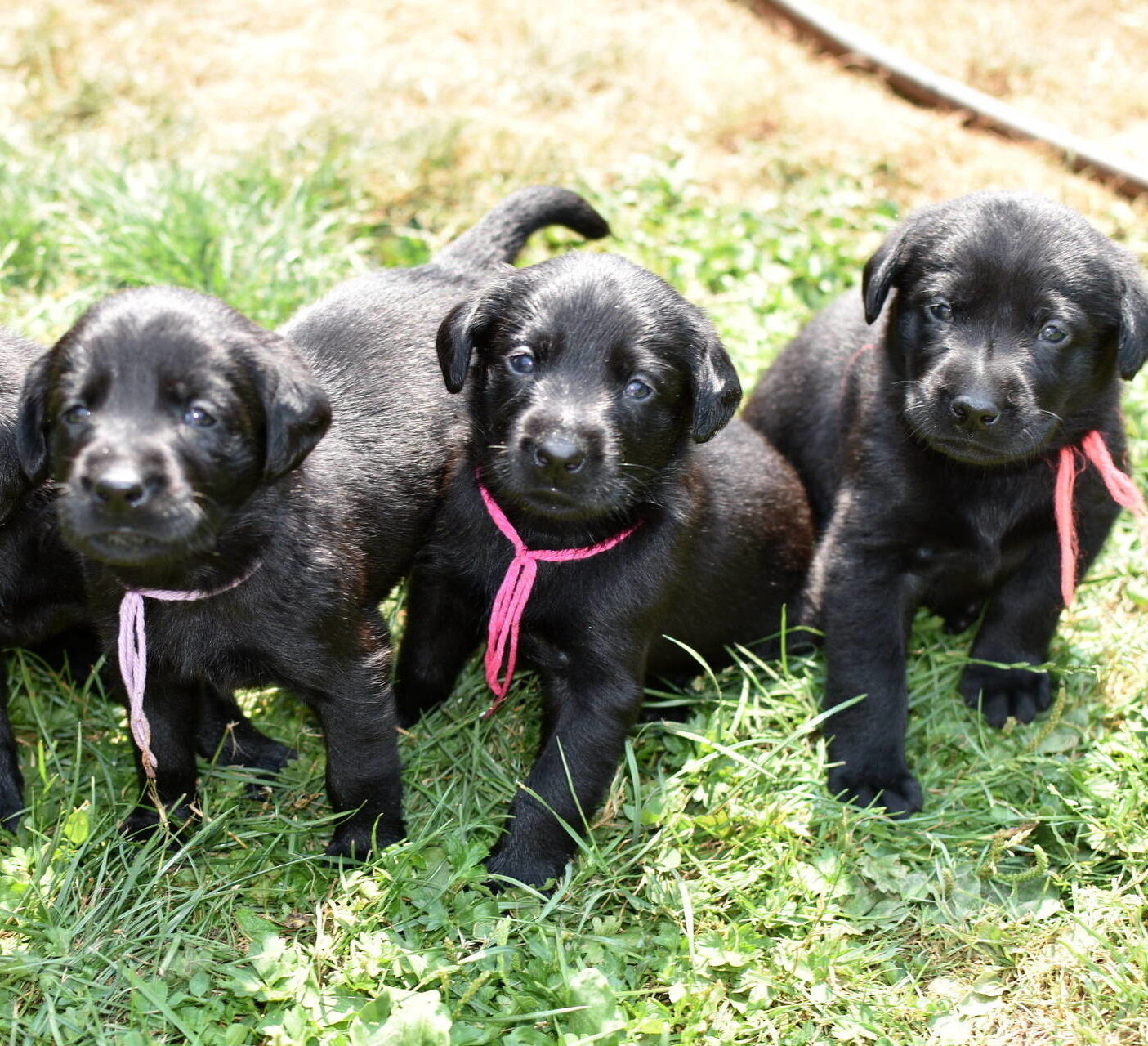 Black Lab puppies July-1.JPG