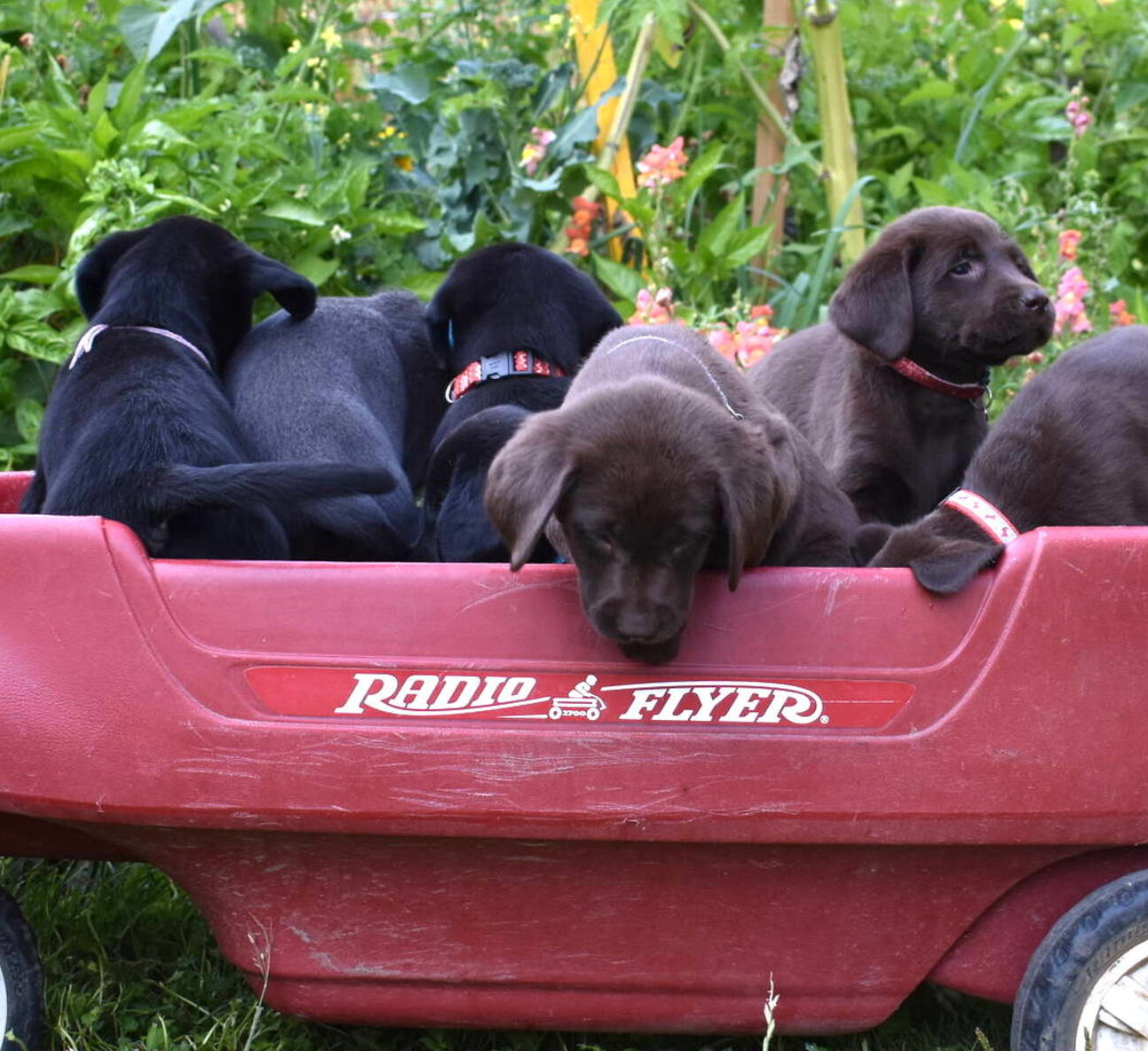 Black Lab puppies July-12.JPG