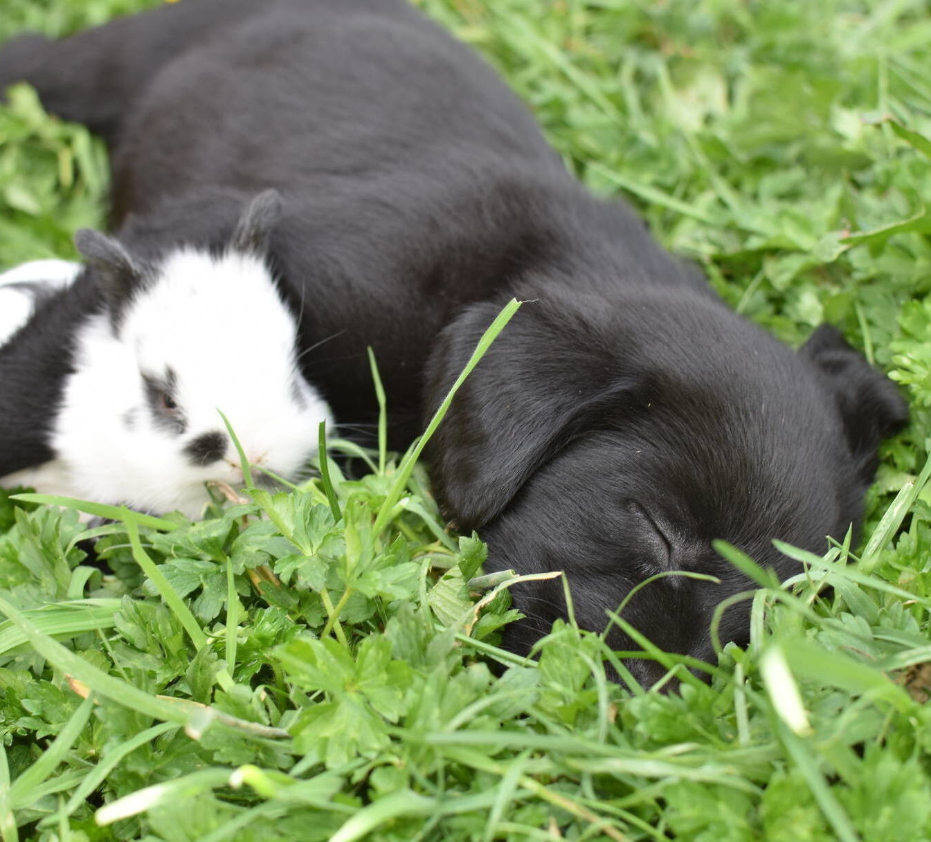 Black Lab puppies July-2.JPG