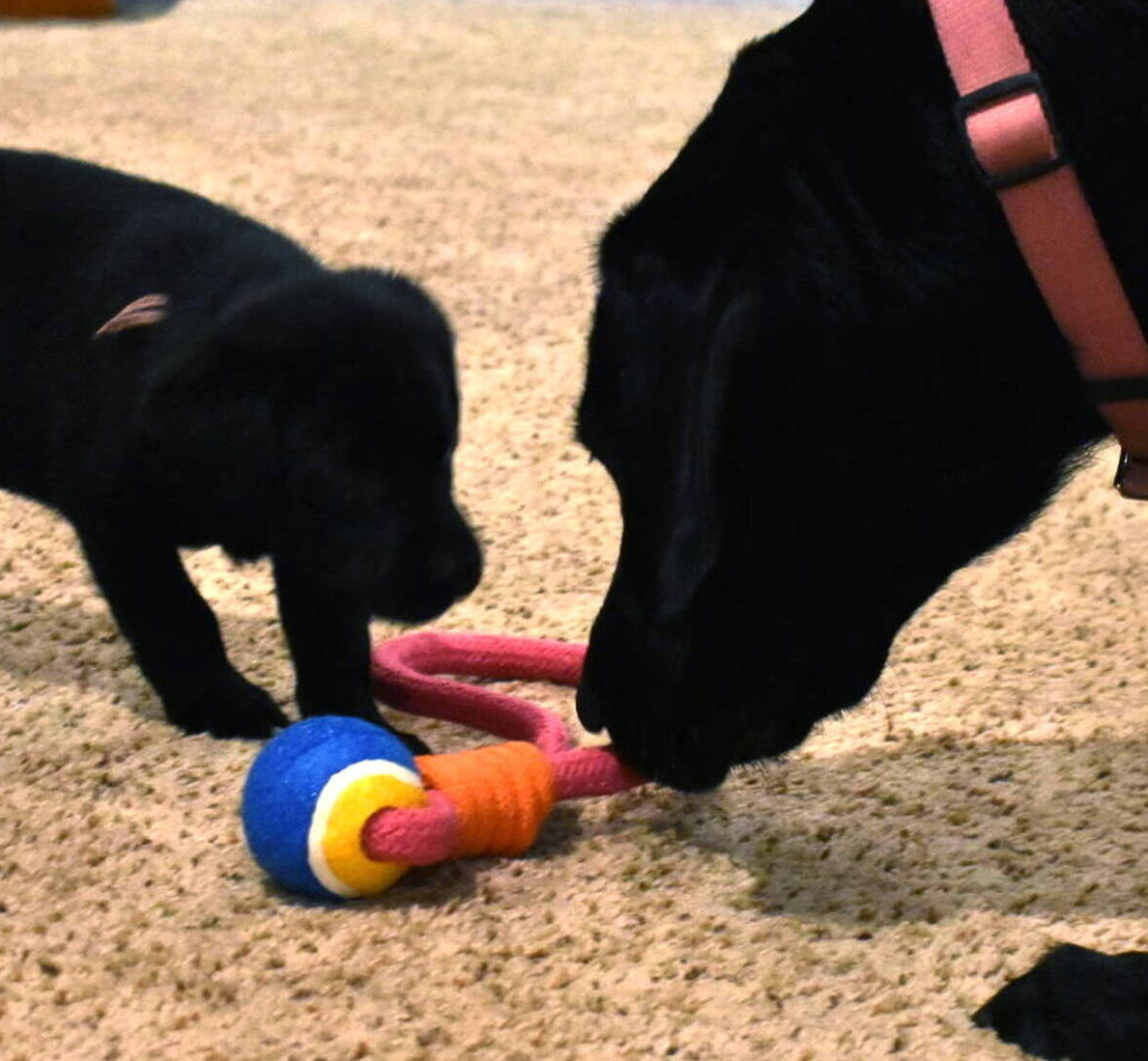 Black Lab puppies July-6.JPG