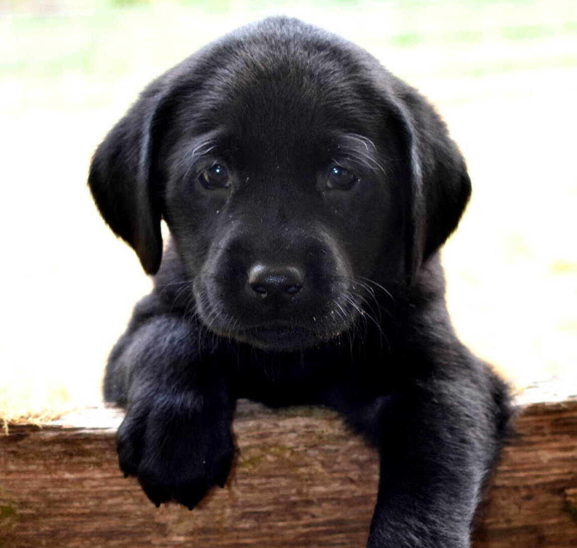 Black Lab puppies July-8.JPG