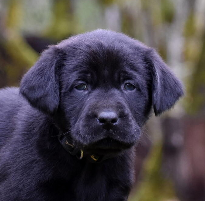 Black Labrador puppies Dec. 2018-11.JPG