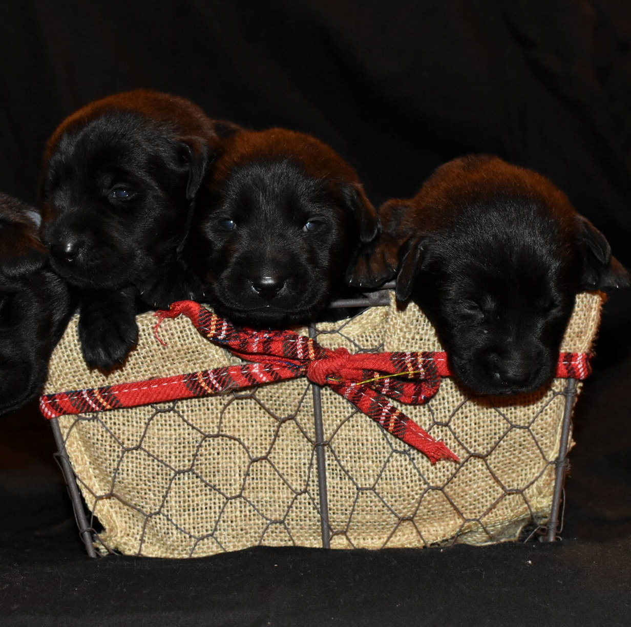 Black Labrador puppies Dec. 2018-12.JPG