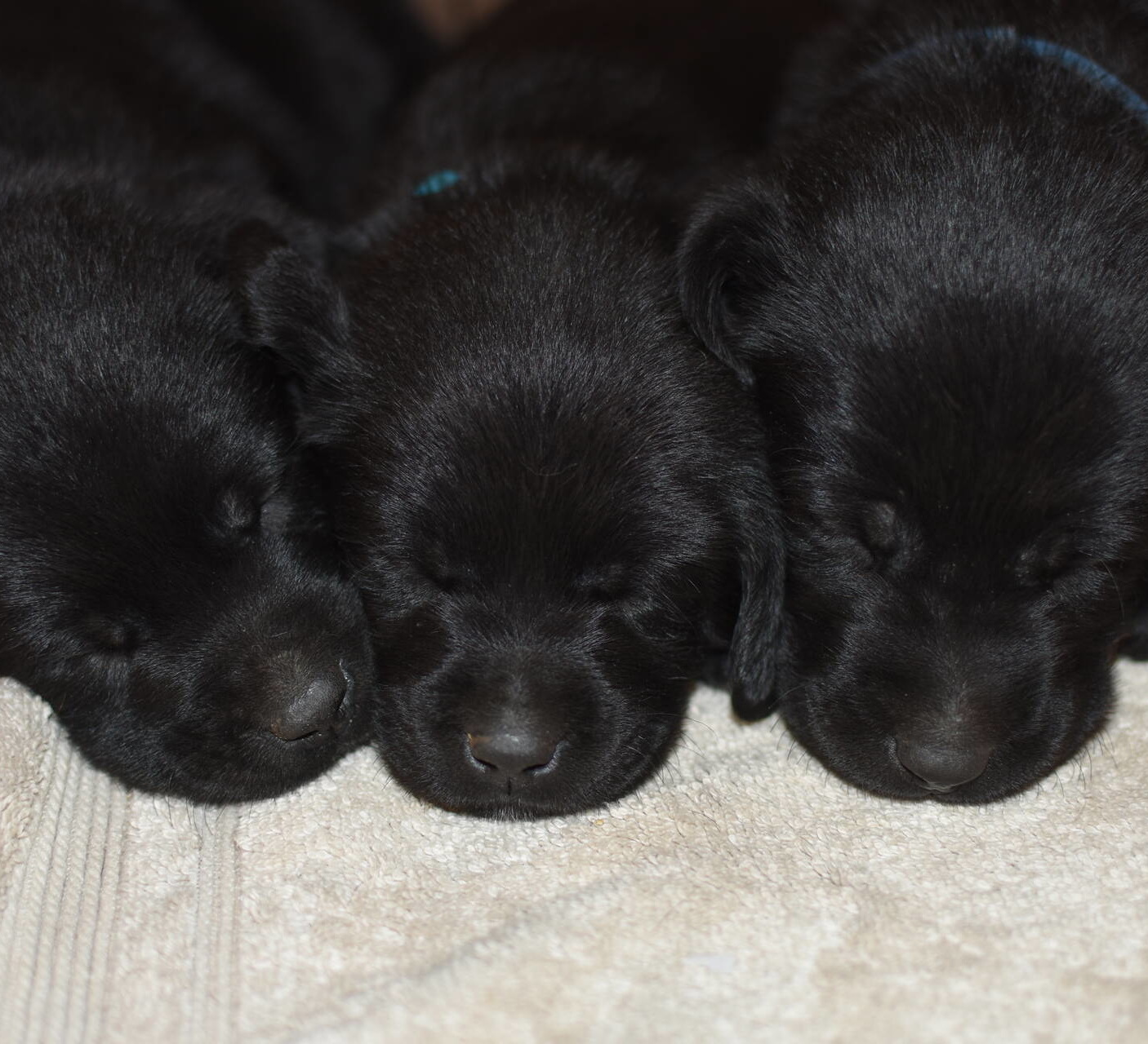 Black Labrador puppies Dec. 2018-13.JPG