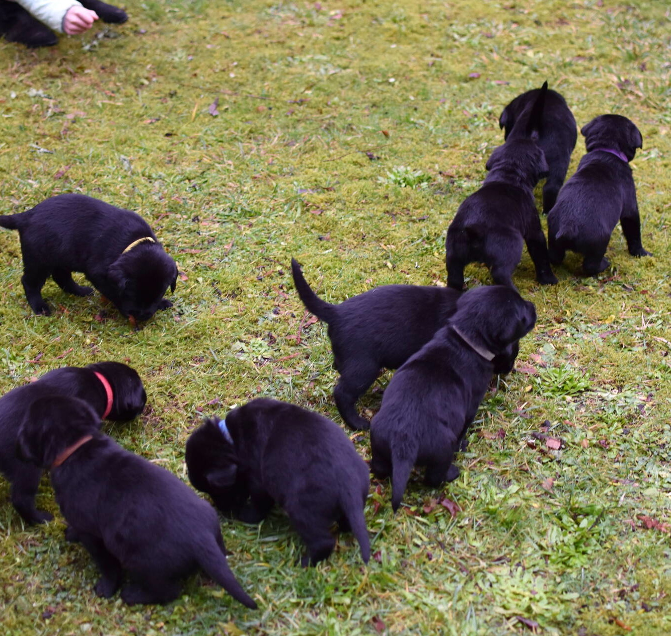 black lab puppies for sale near me 98516