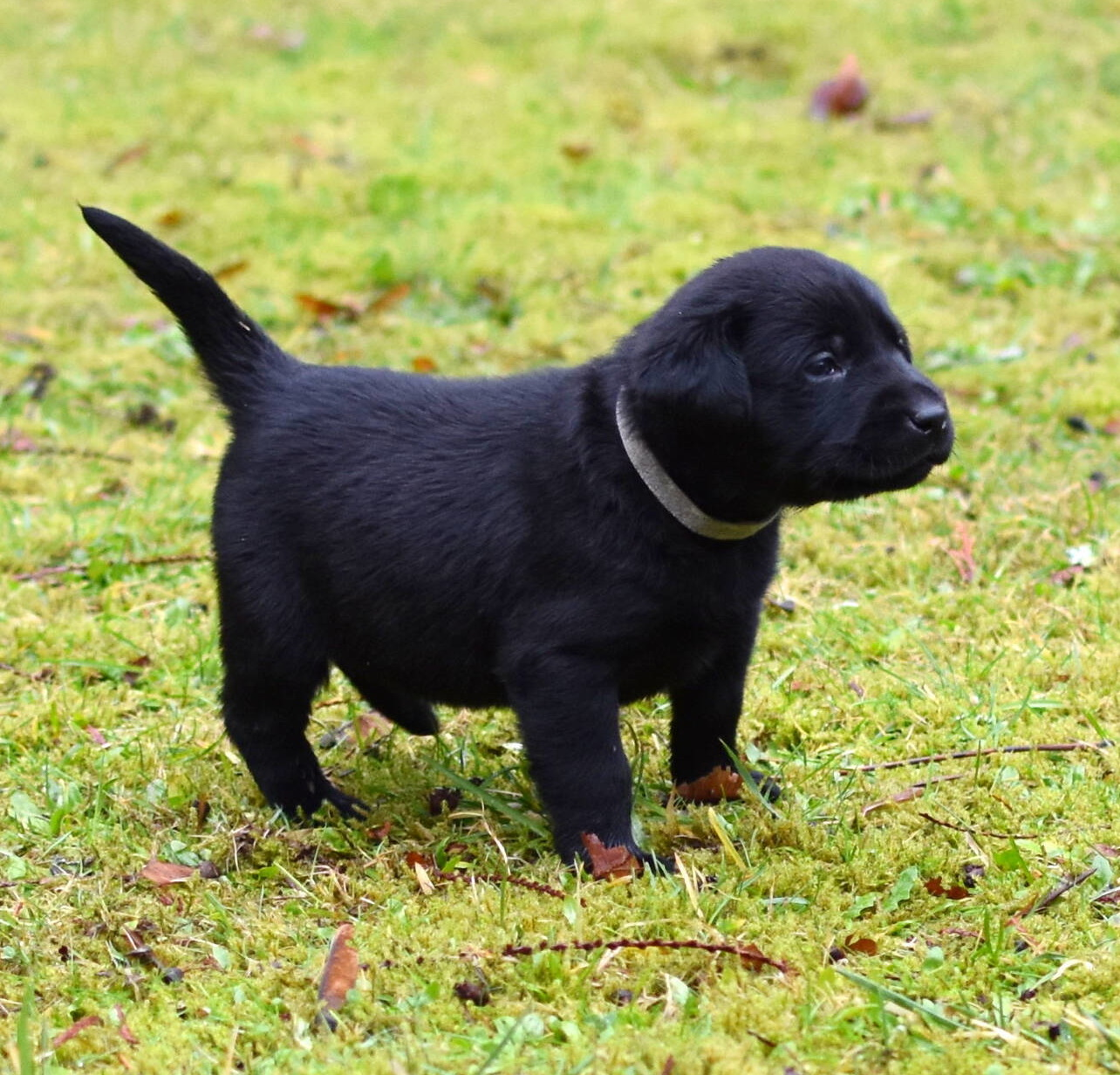 Black Labrador puppies Dec. 2018-17.JPG