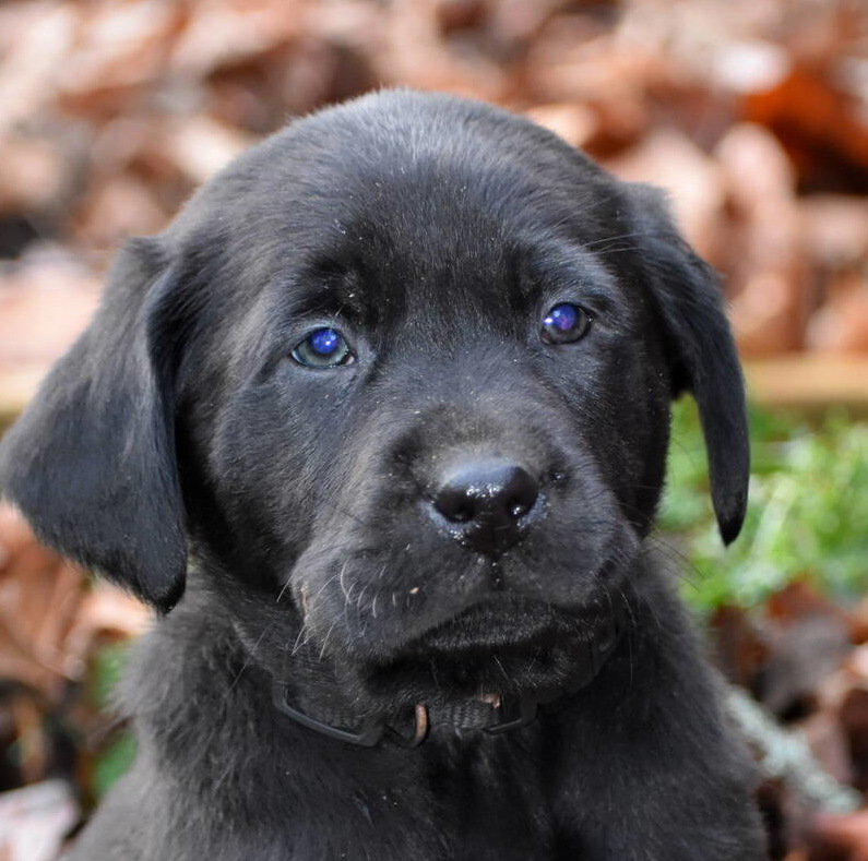 Black Labrador puppies Dec. 2018-19.JPG
