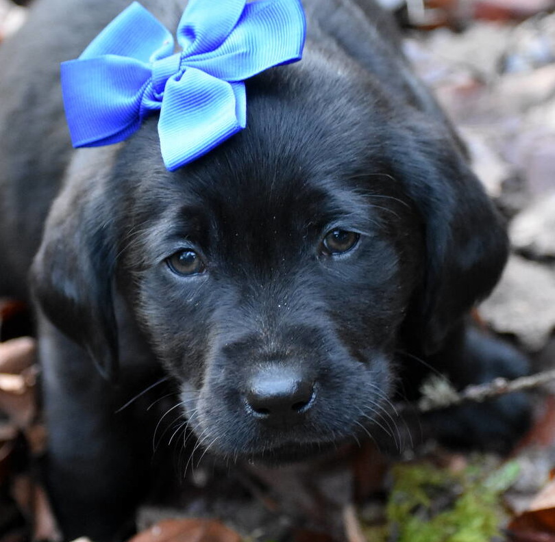 Black Labrador puppies Dec. 2018-20.JPG
