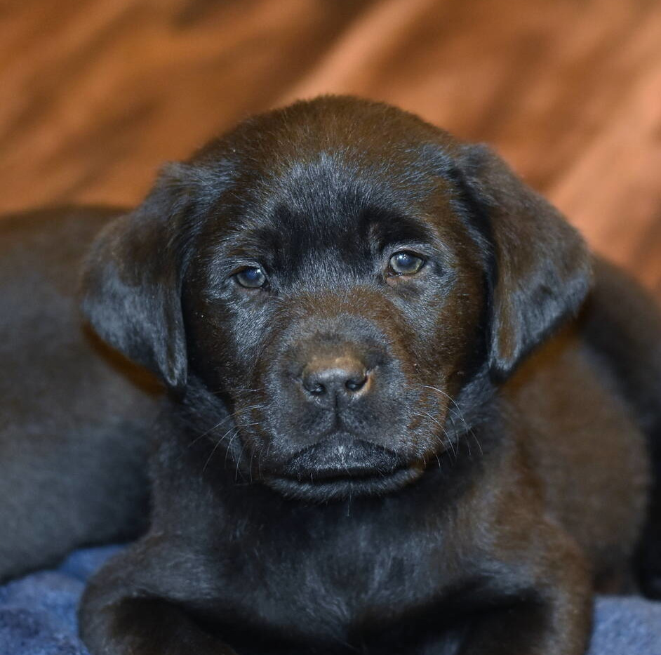 Black Labrador puppies Dec. 2018-22.JPG