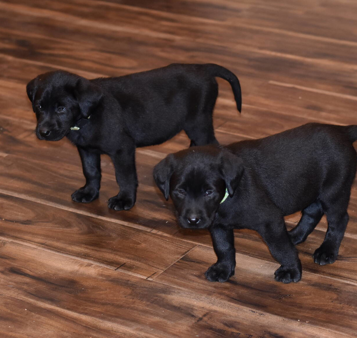 Black Labrador puppies Dec. 2018-24.JPG
