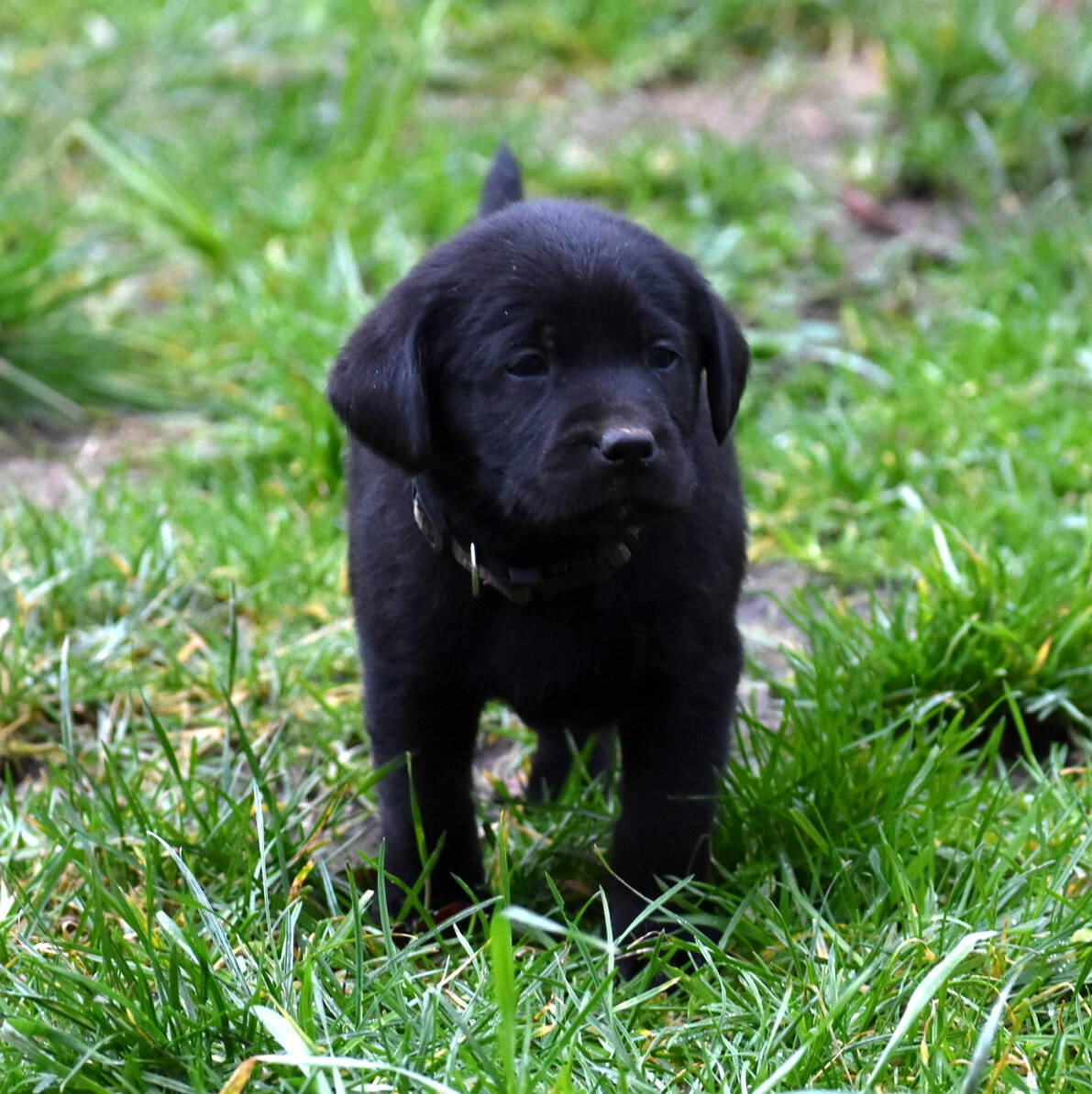 Black Labrador puppies Dec. 2018-4.JPG