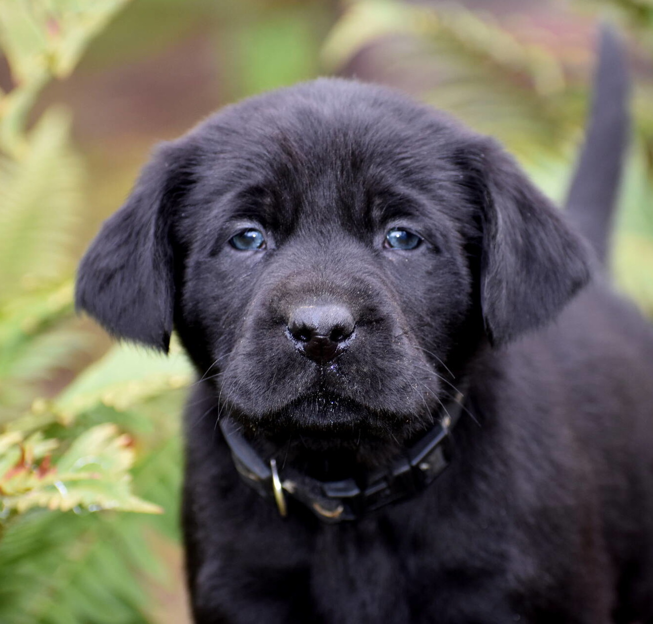 Black Labrador puppies Dec. 2018-5.JPG