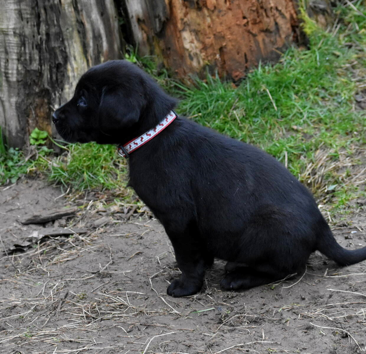 Black Labrador puppies Dec. 2018-7.JPG