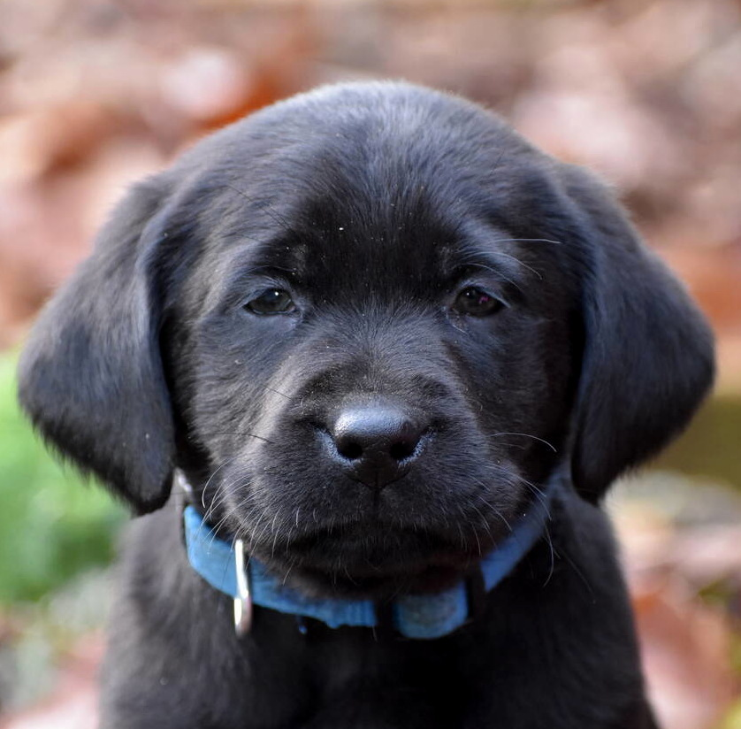 Black Labrador puppies Dec. 2018-9.JPG