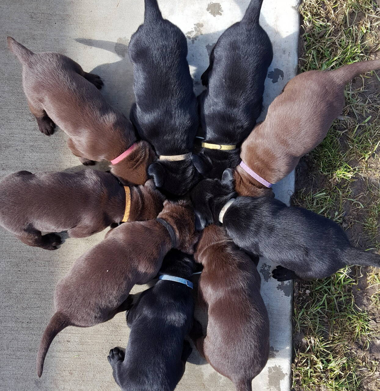 lab puppies for sale near me yard