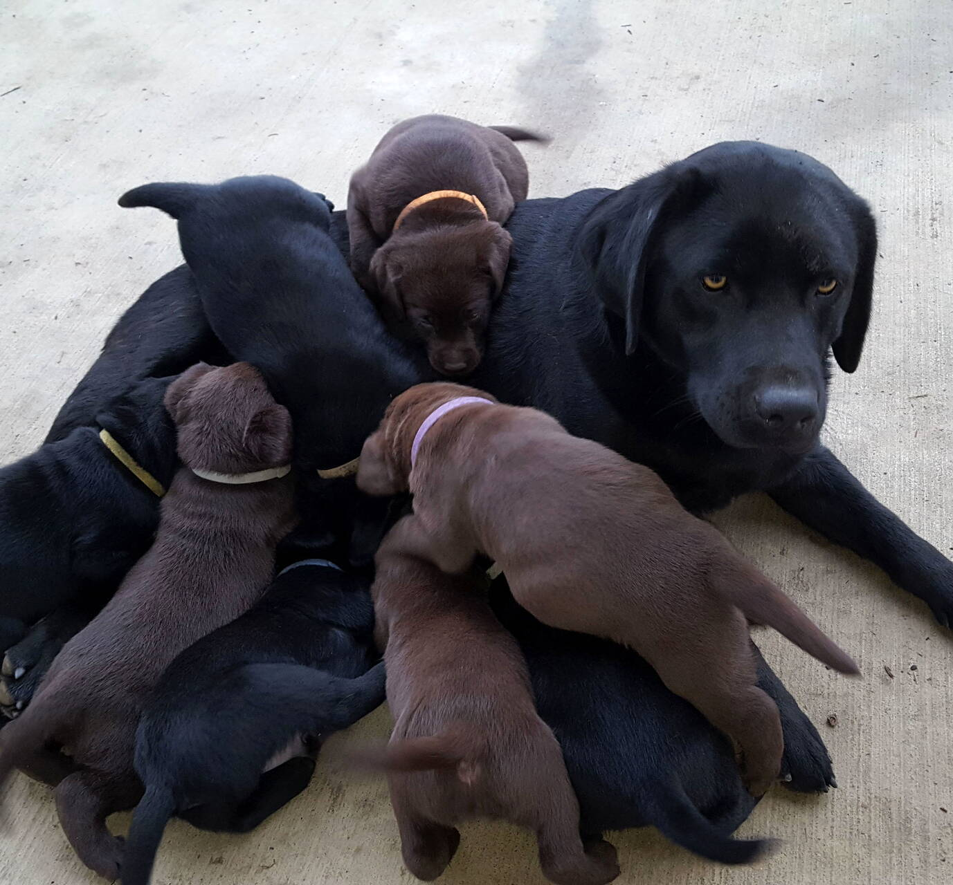 Chocolate and black labradors-Feb 2019-15.jpg