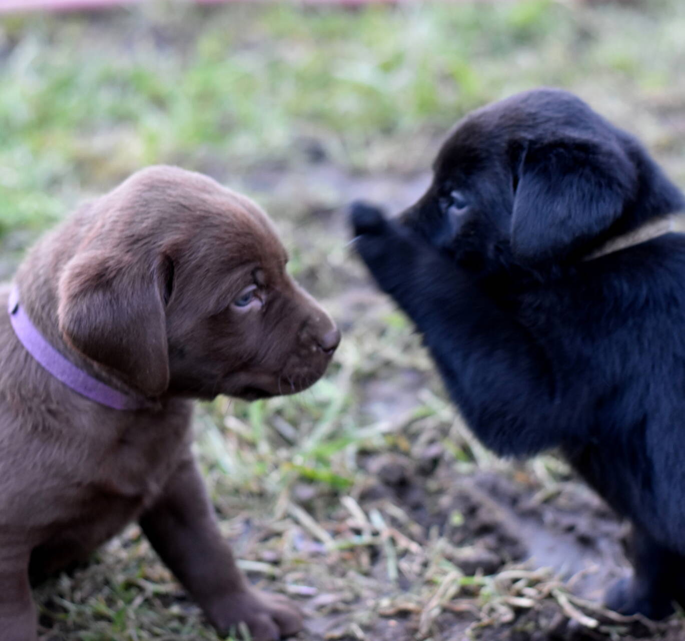 Chocolate and black labradors-Feb 2019-16.JPG