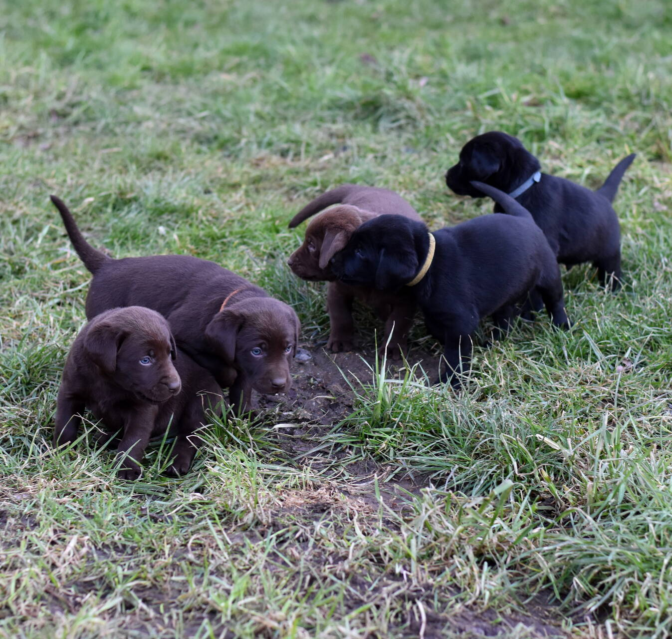 Chocolate and black labradors-Feb 2019-17.JPG