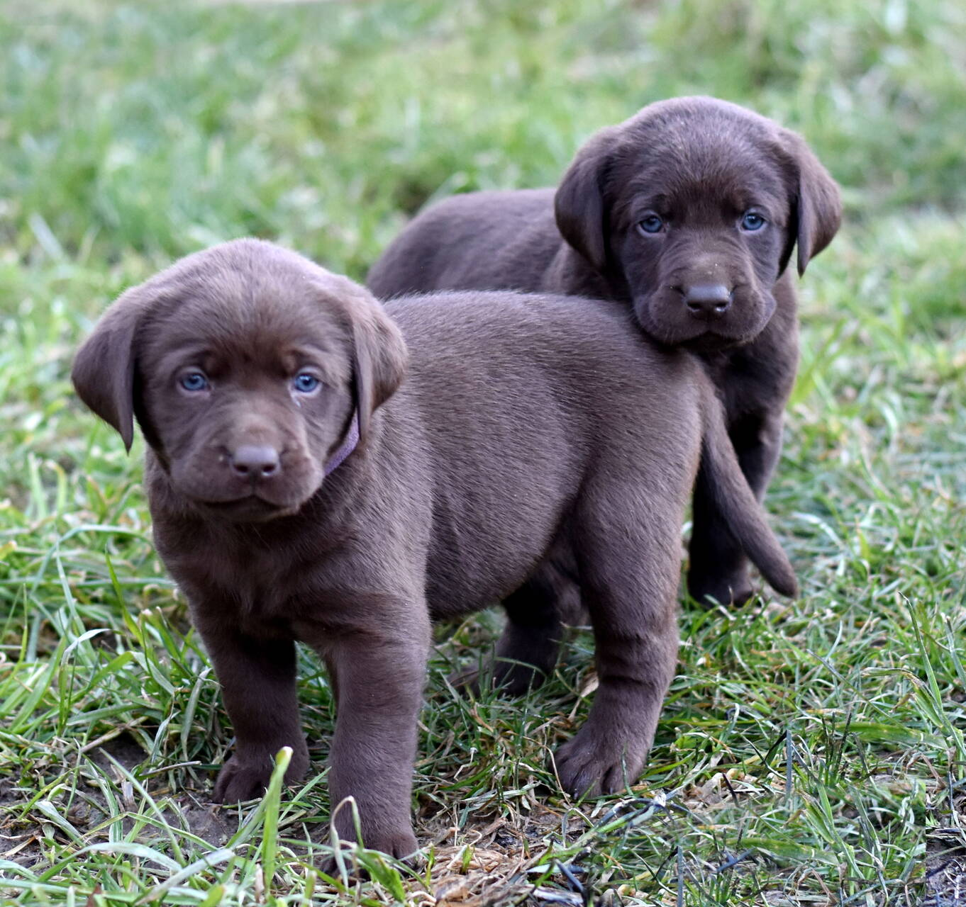 Chocolate and black labradors-Feb 2019-18.JPG