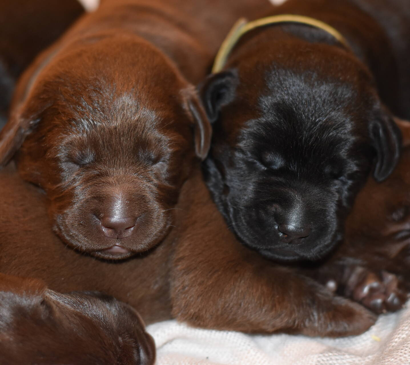Chocolate and black labradors-Feb 2019-19.JPG