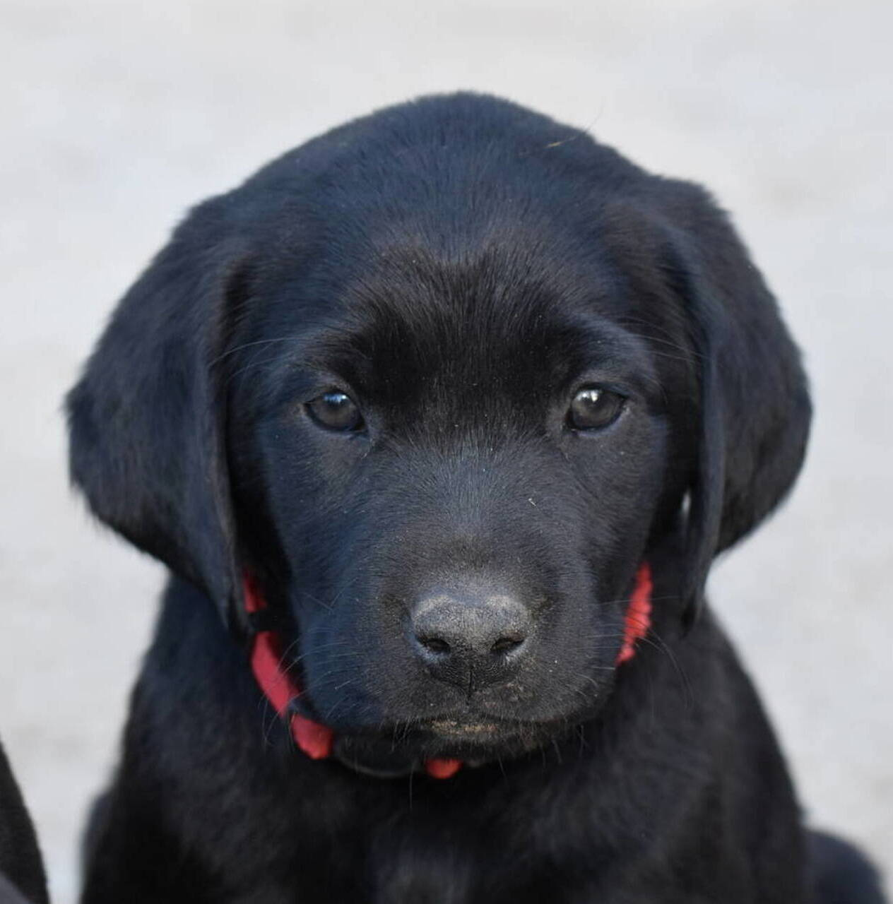 Chocolate and black labradors-Feb 2019-2.JPG
