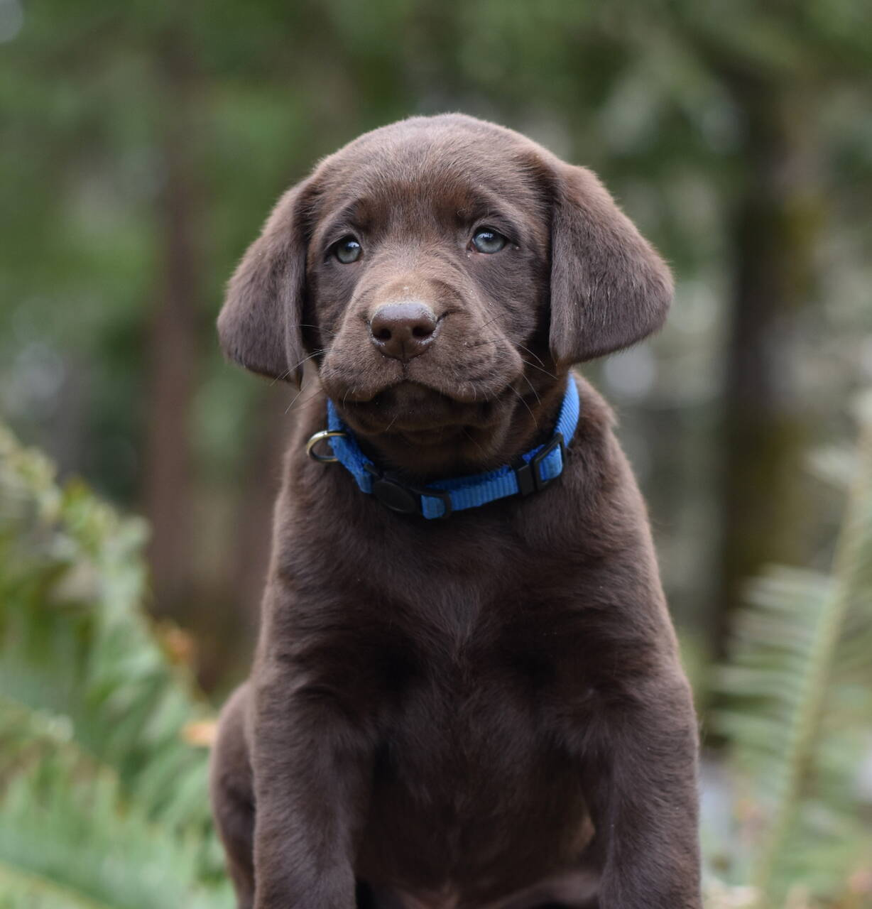 Chocolate and black labradors-Feb 2019-22.JPG