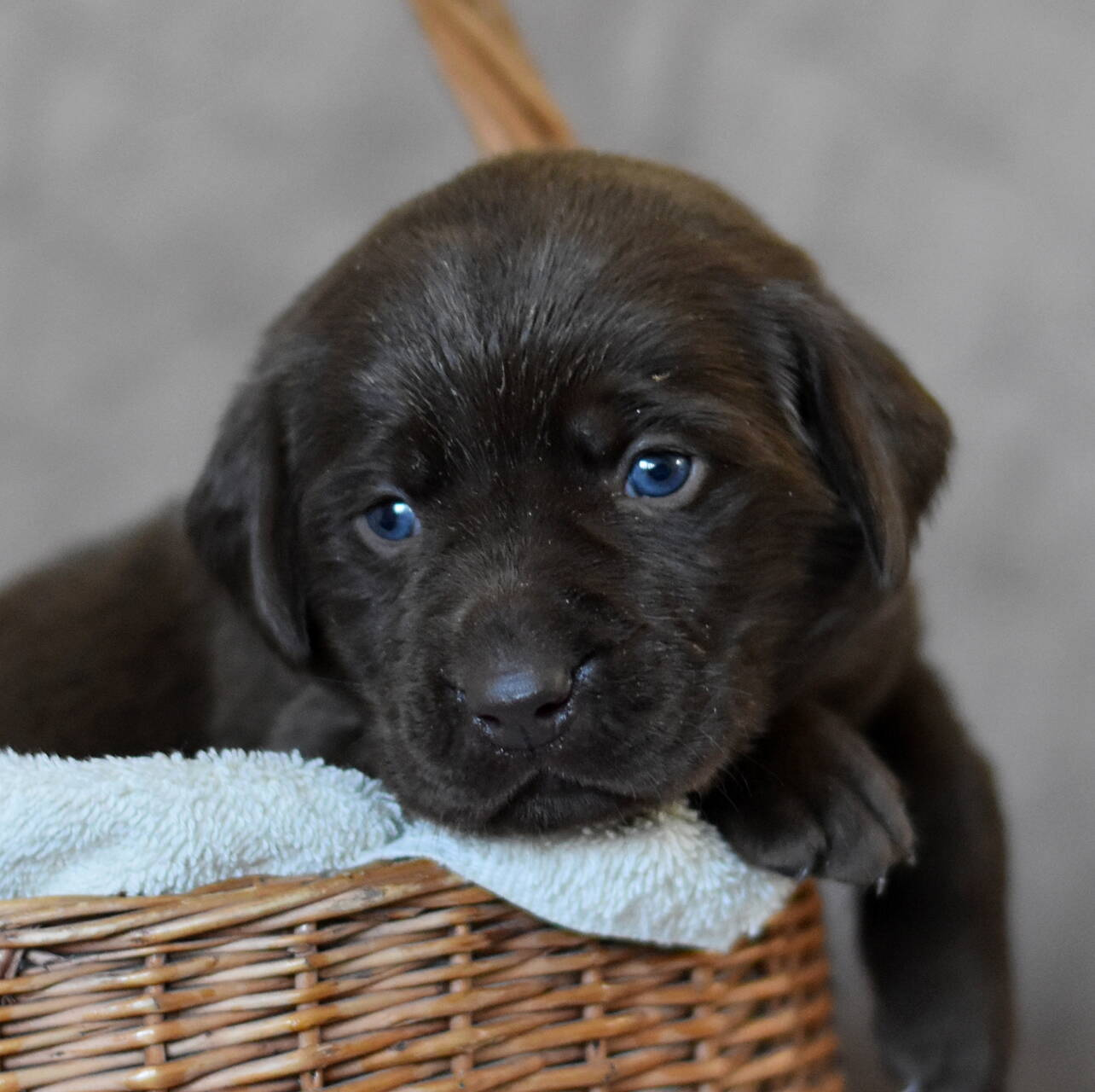Chocolate and black labradors-Feb 2019-24.JPG