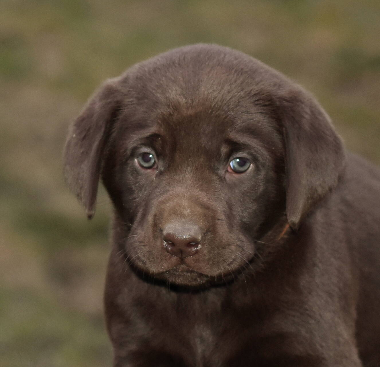 Chocolate and black labradors-Feb 2019-25.JPG