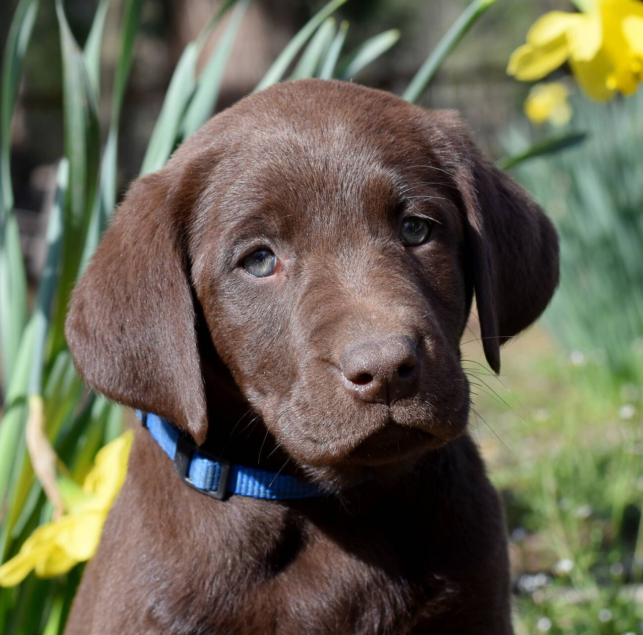 Chocolate and black labradors-Feb 2019-8.JPG