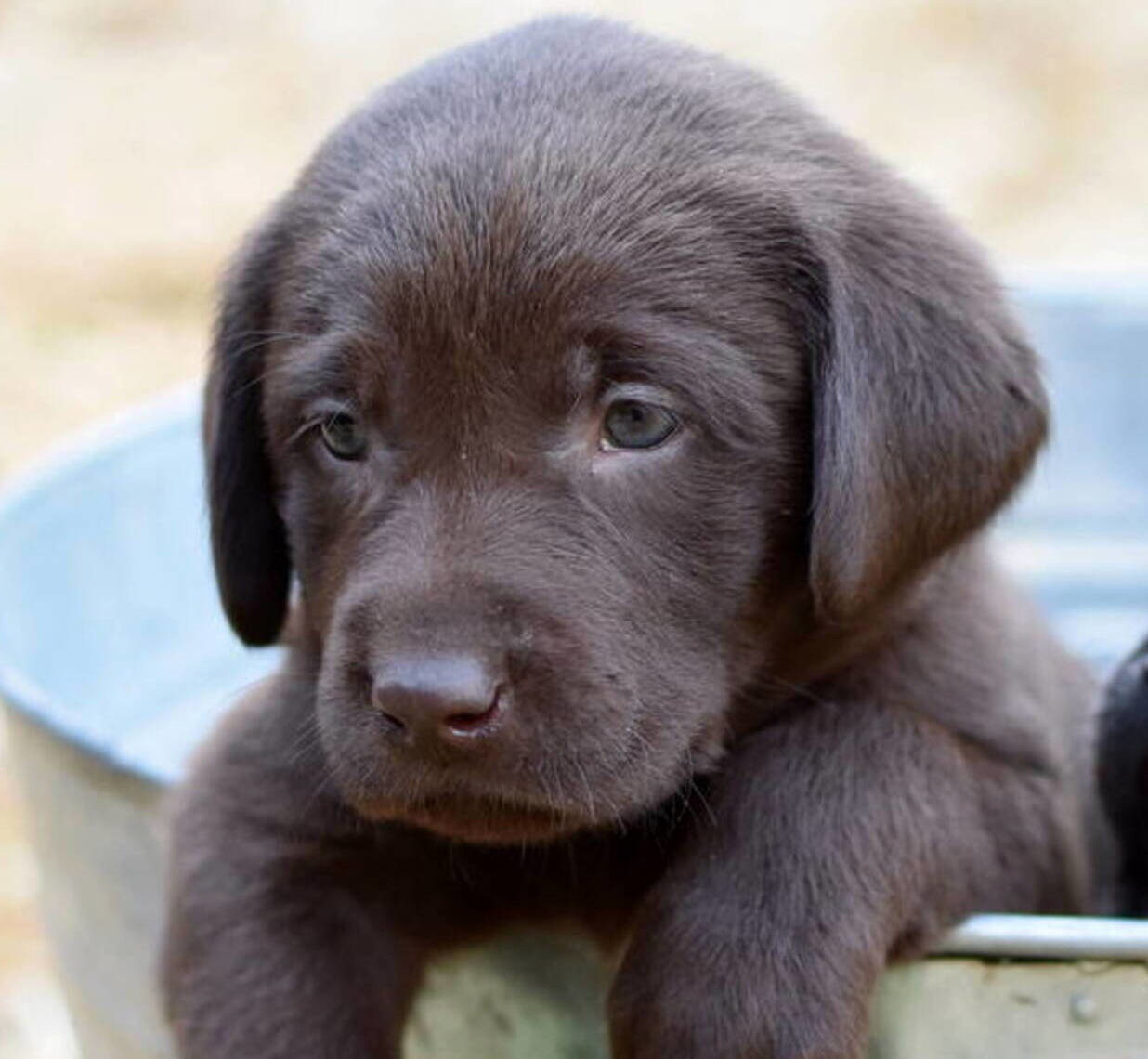 Chocolate Lab puppies July-3.JPG
