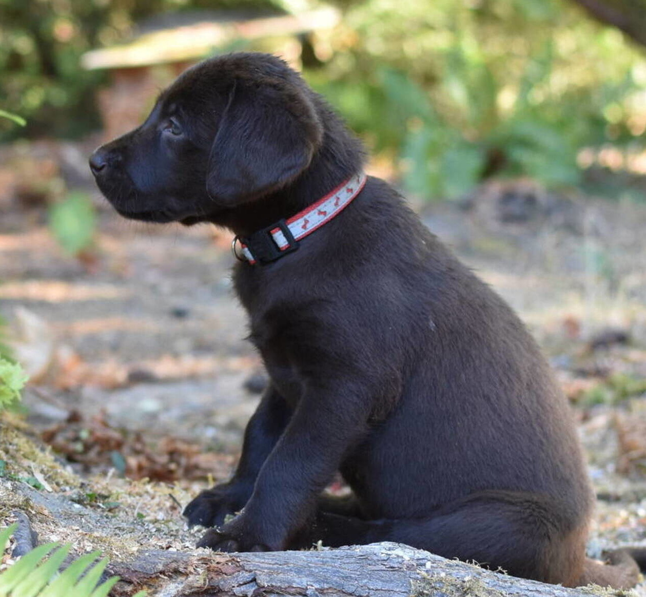 Chocolate Lab puppies July-5.JPG
