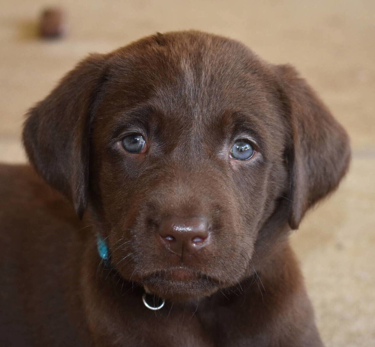 Chocolate Lab puppies July-6.JPG
