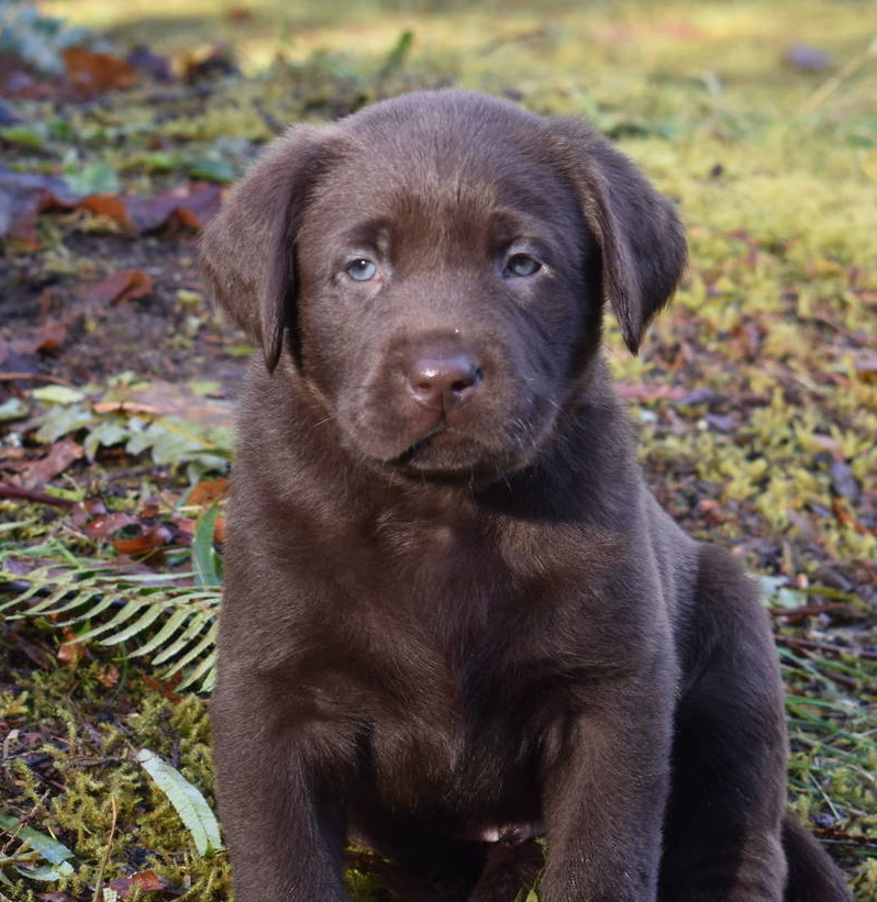 Chocolate Labrador Jan 2018--11.JPG