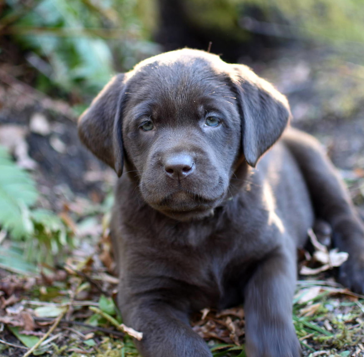 Chocolate Labrador Jan 2018--2.JPG