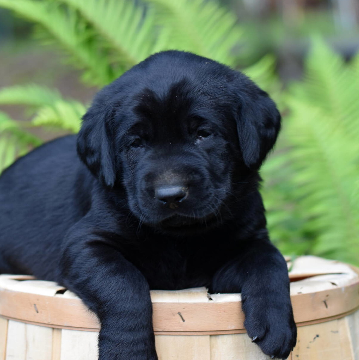 Labrador puppies-2019-10.JPG