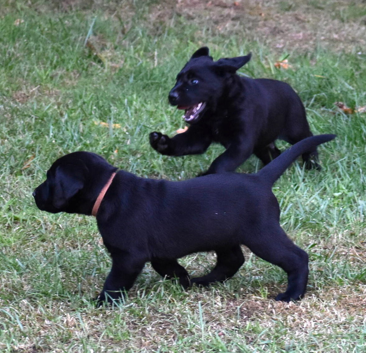 Labrador puppies-2019-19.JPG