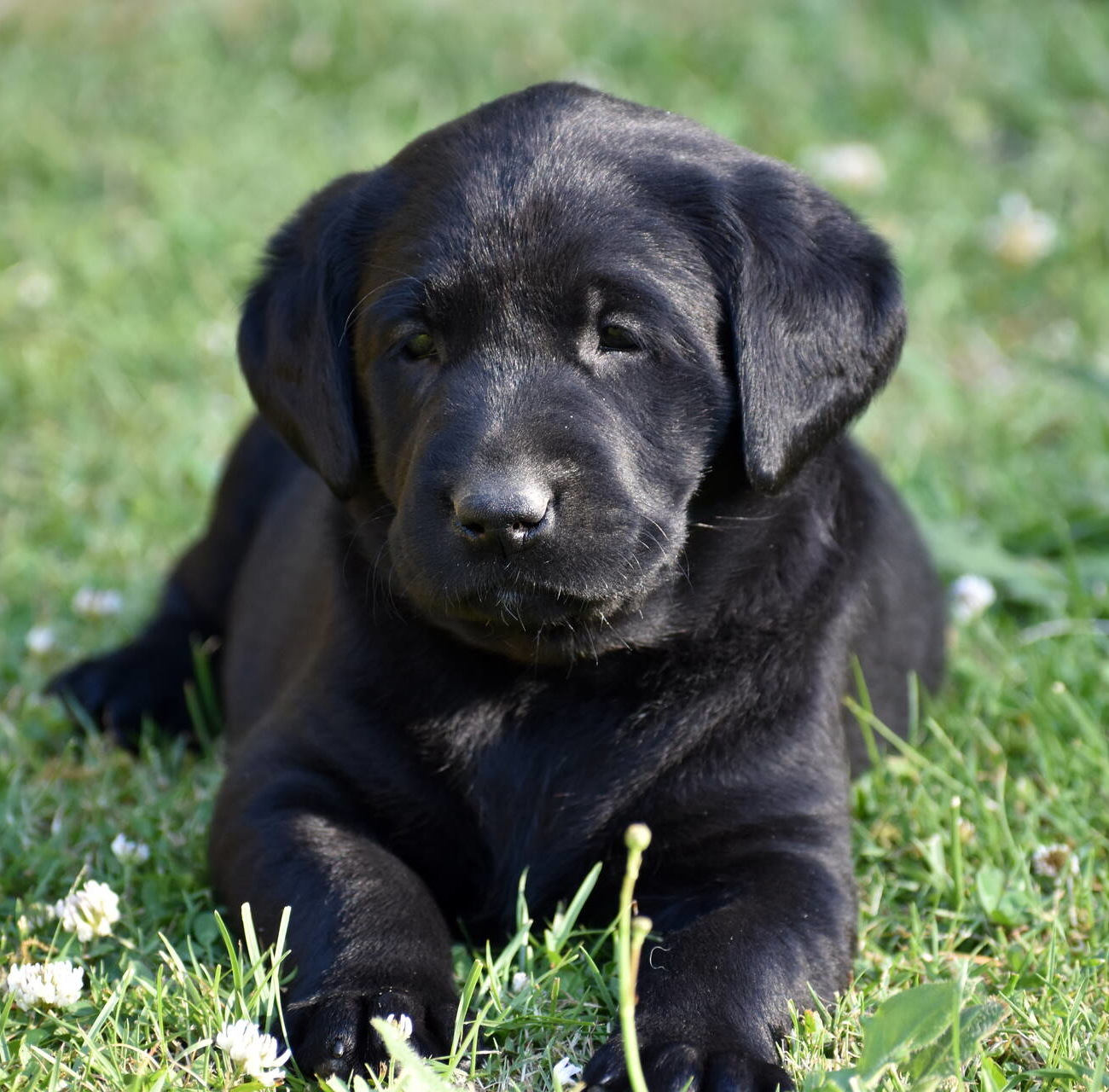 Labrador puppies-2019-2.JPG