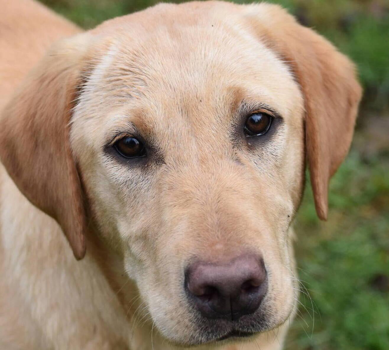 Home-Family Labrador Retriever breeder-Olympia, Wa