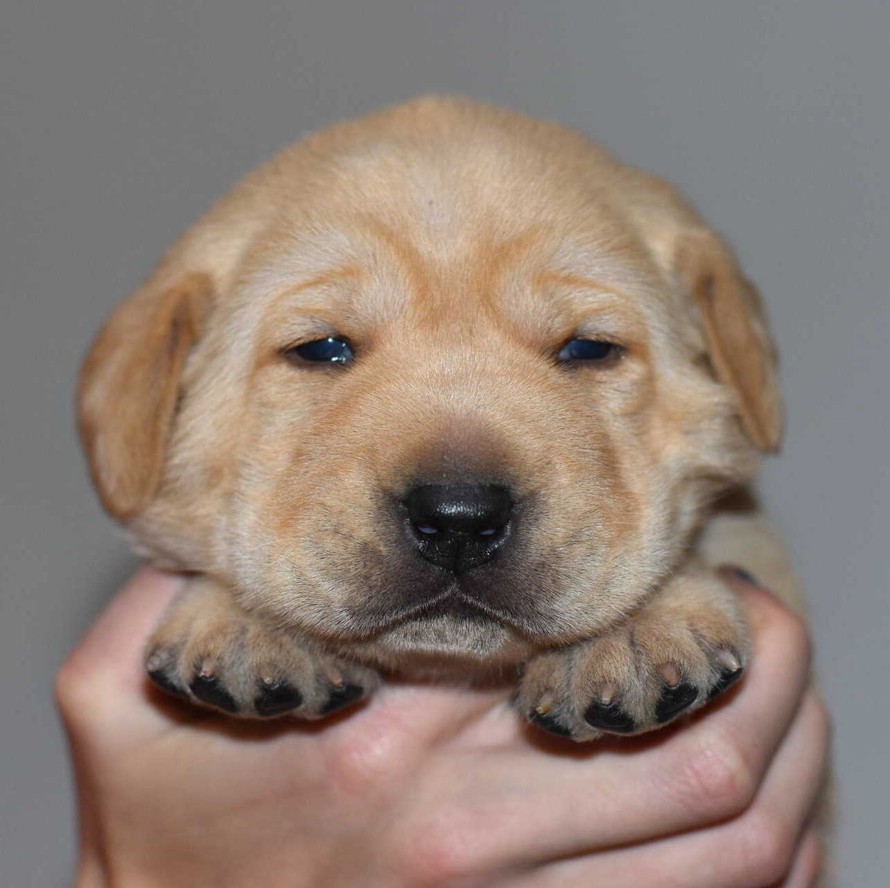 Yellow labrador puppies-2019-1.JPG