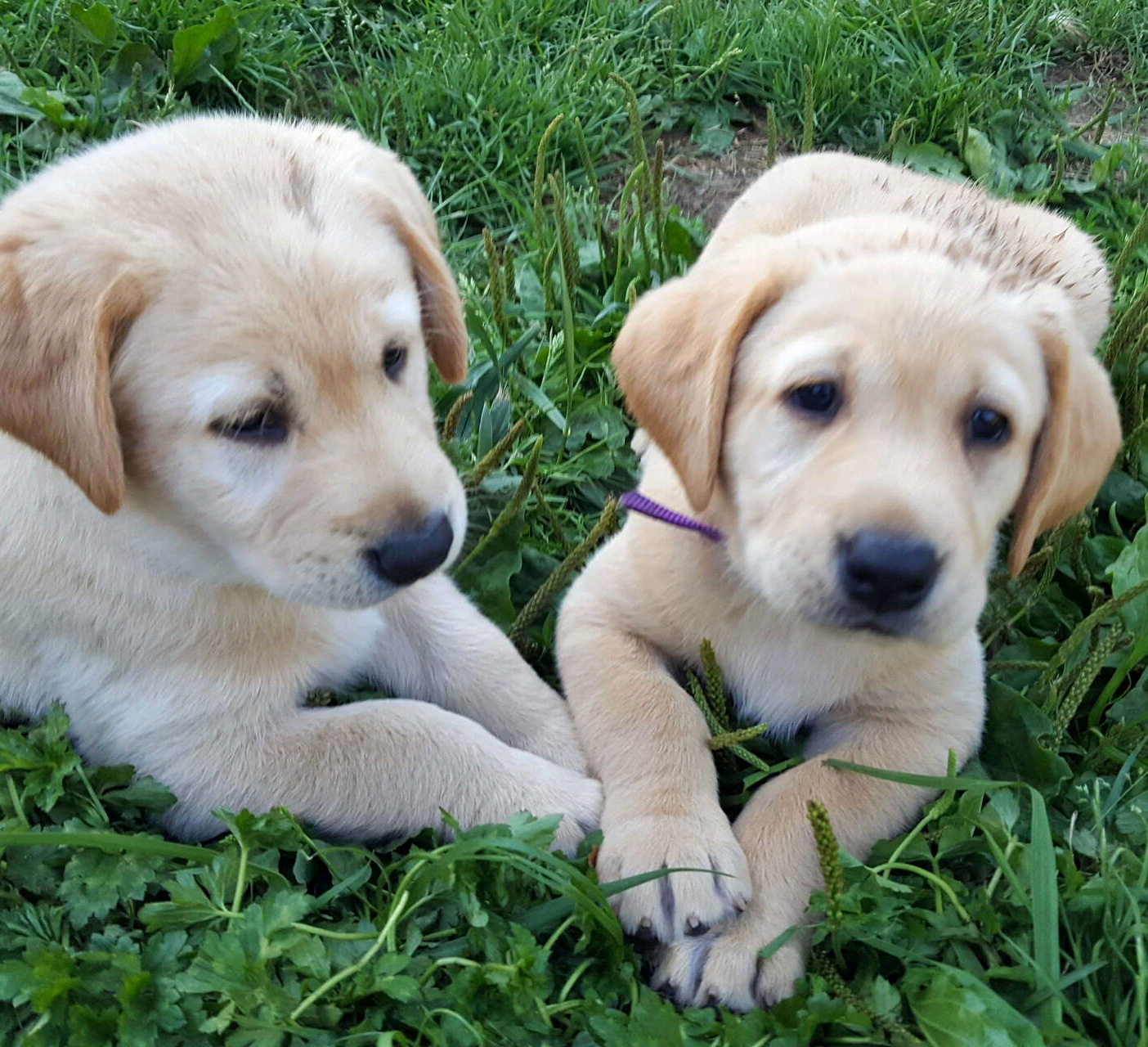 Yellow labrador puppies-2019-11.jpg