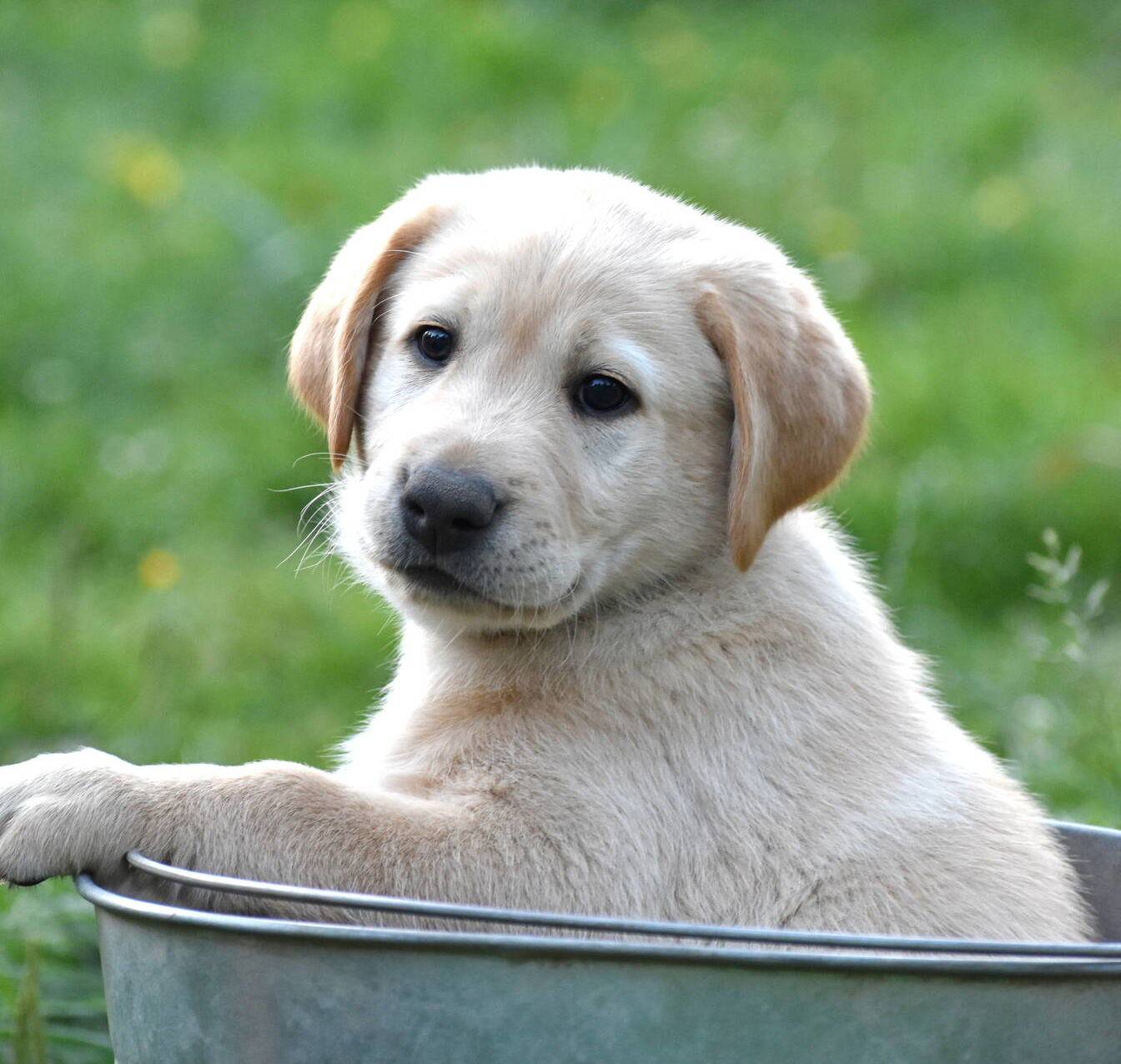 Yellow labrador puppies-2019-15.JPG