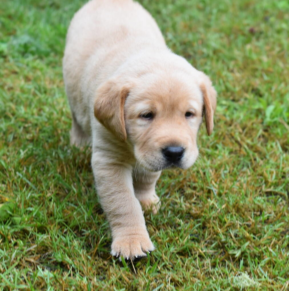Yellow labrador puppies-2019-17.JPG