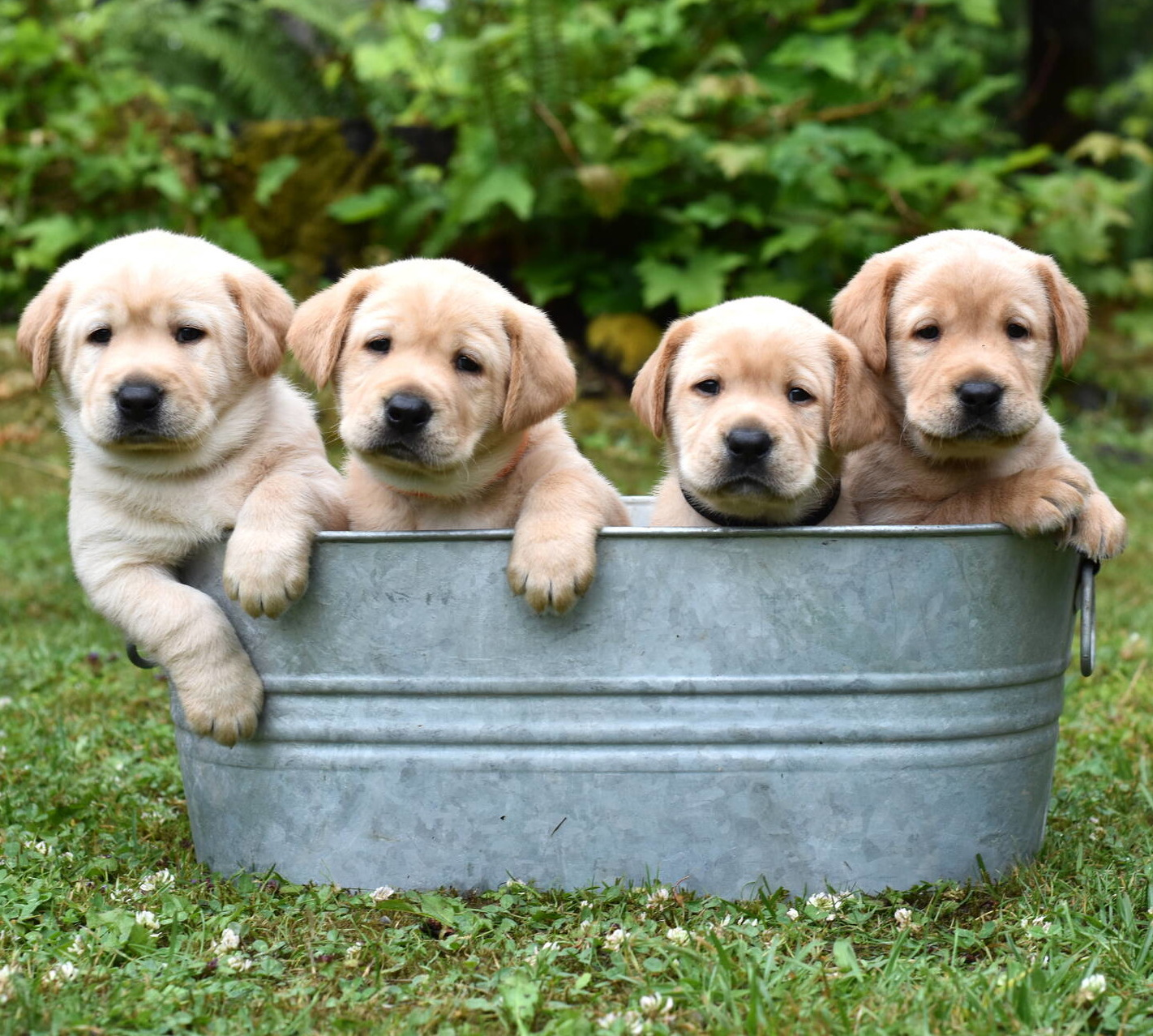 Yellow labrador puppies-2019-18.JPG