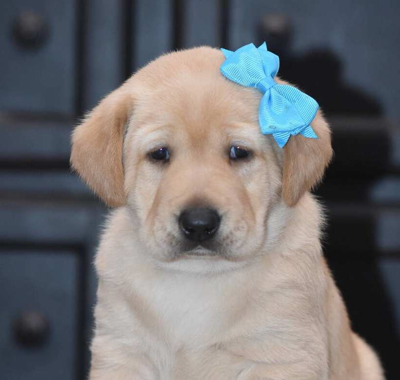 Yellow labrador puppies-2019-20.JPG