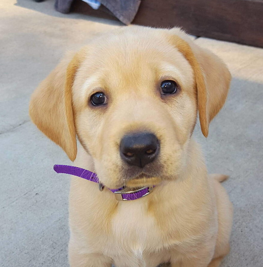 Yellow labrador puppies-2019-22.jpg