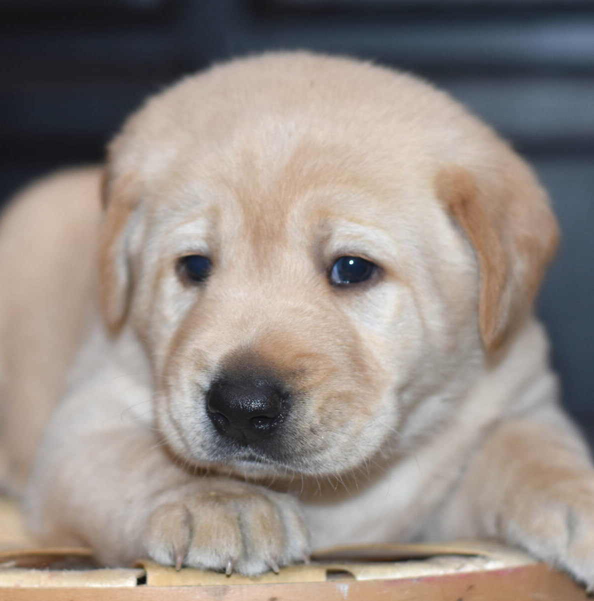 Yellow labrador puppies-2019-7.JPG