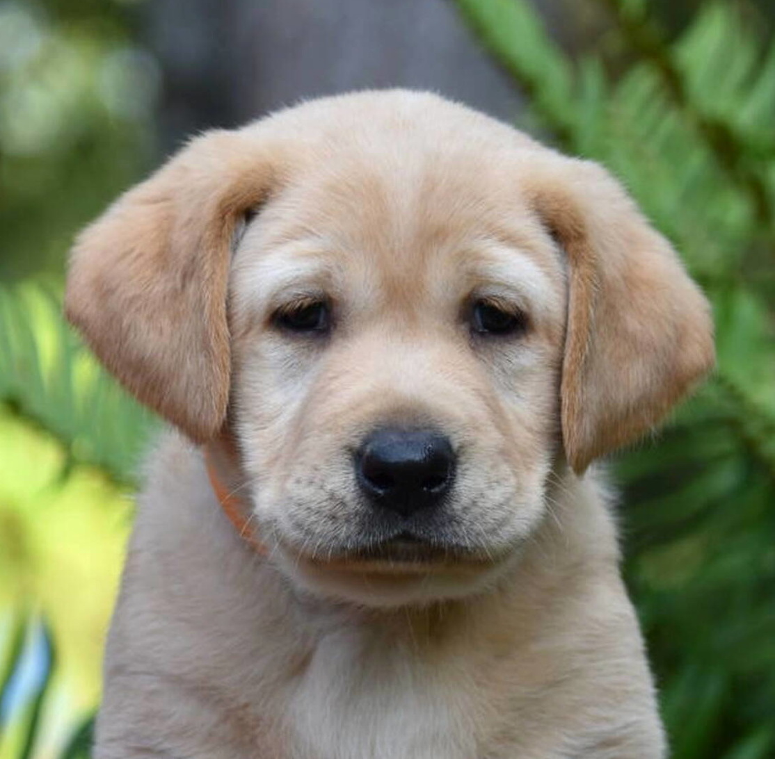 Yellow labrador puppies-2019-8.JPG