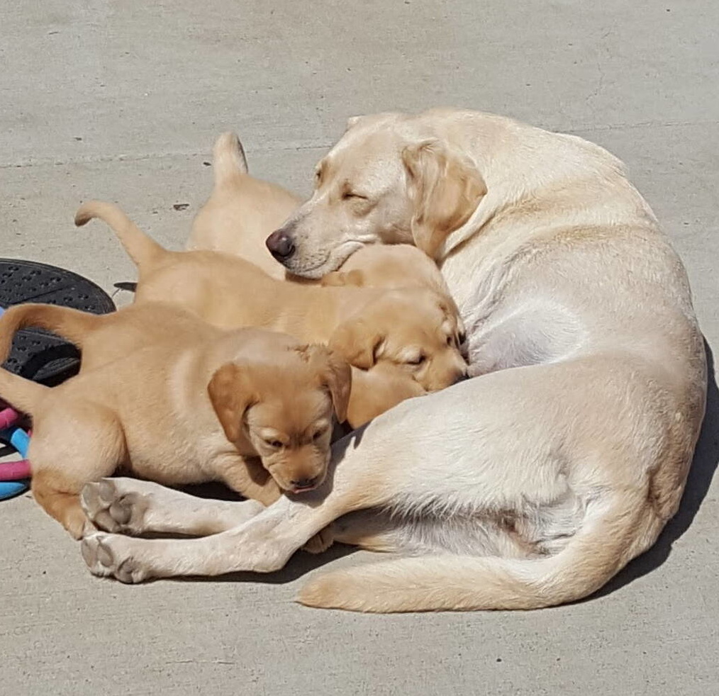 Yellow labrador puppies-2019-9.jpg