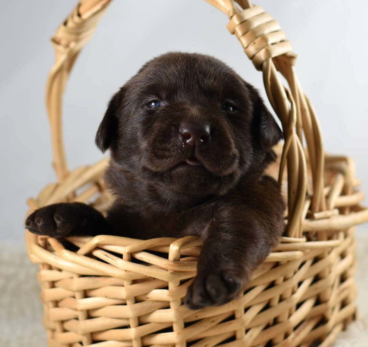 Litter 7-Chocolate labrador puppies10.JPG